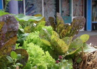 Lettuce in Bales