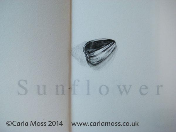 Helianthus annuus L. 12 Sunflower Seeds